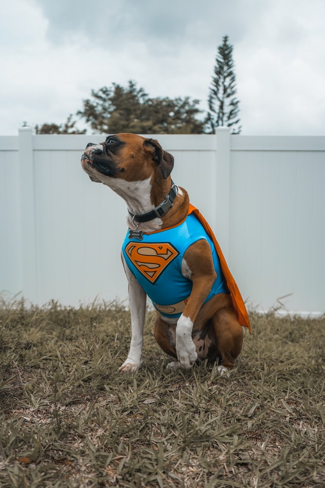 Dog dressed up in a Superman costume.