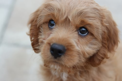 image of a puppy to represent pet policy.